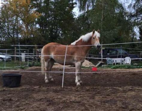 hã user privat kaufen haflingerstute in n 252 rnberg pferde kaufen und verkaufen