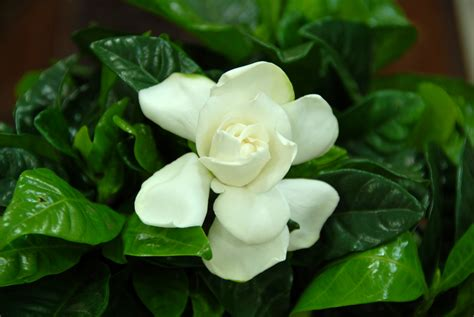 file gardenia flower jpg wikimedia commons