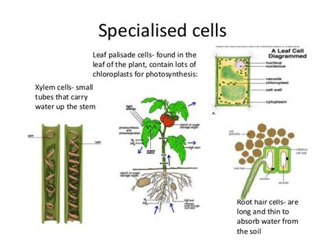 specialized cells presentation