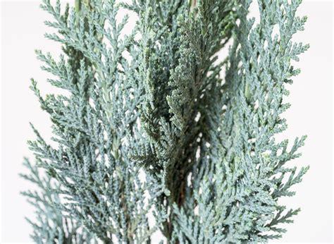 Blaue Scheinzypresse Pflege 5509 by Blaue Scheinzypresse Chamaecyparis Lawsoniana Column