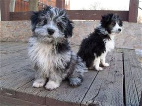 aussiedoodle puppies for sale nc 18 best images about puppy on poodle mix poodles and spaniels