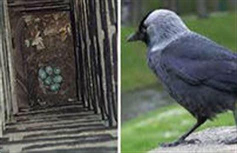 schouw uitkuisen danny segers kauwen in schouwen vogelnesten verwijderen