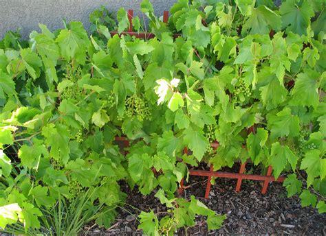 nursery plants wine grape tree wine fruit plant