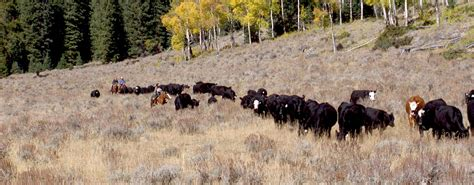 how to a to work cattle 302 found