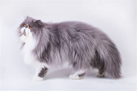 Persian Cat Breed Information, Buying Advice, Photos and