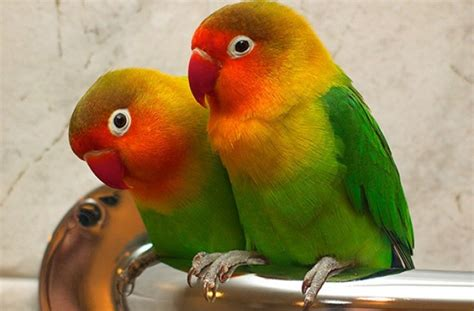 tag for lovebird pic free download summer lovebirds free