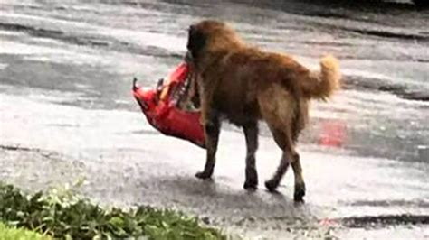 carrying bag of food hurricane harvey otis the carrying bag of food goes viral today