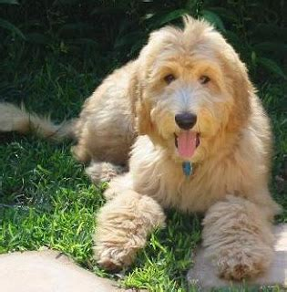 goldendoodle puppy checklist animal encyclopedia goldendoodle