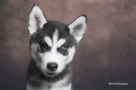 siberian husky puppies for sale in colorado siberian husky puppies for sale exeter pets4homes
