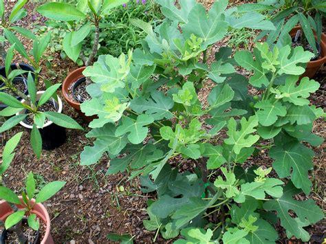 Bibit Tin Calimyrna fig buah tin pohon tin jual bibit buah tin