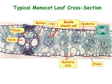 monocot leaf cross section labeled leaves form and structure ppt video online download