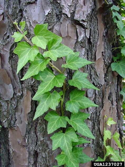 Planter Lierre Grimpant by Hedera Helix Apiales Araliaceae 1237027
