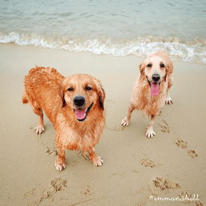 cost of owning a golden retriever the cost of owning a in singapore