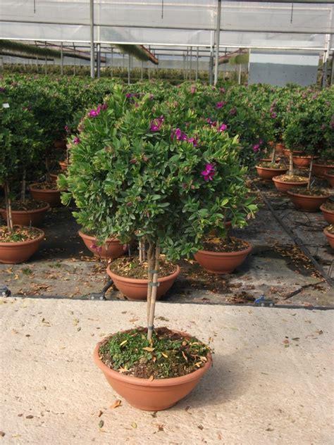 alberello da giardino vivai de michele piante ornamentali da esterno ostuni
