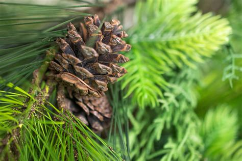 outdoor pine garland with pine cones 6 ft