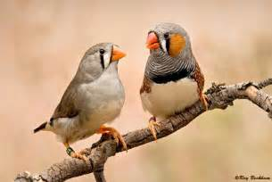 star tame birds zebra finches