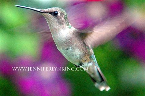 female ruby throated hummingbird with jackmanii clematis