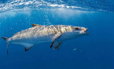 how do cobia boats rate fish identification cobia