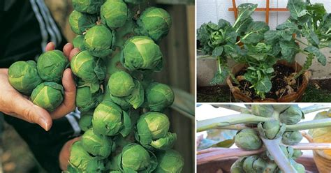 growing brussels sprouts  containers   grow