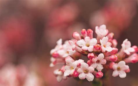 wallpaper hd pink flowers hd pink flowers hd desktop wallpapers 4k hd