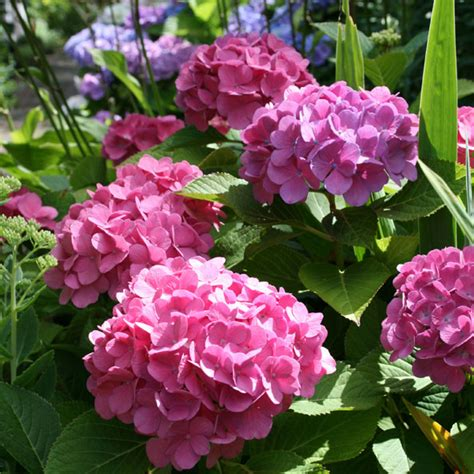 pflanzen hortensien hortensien pflanzen hortensien pflanzen infos