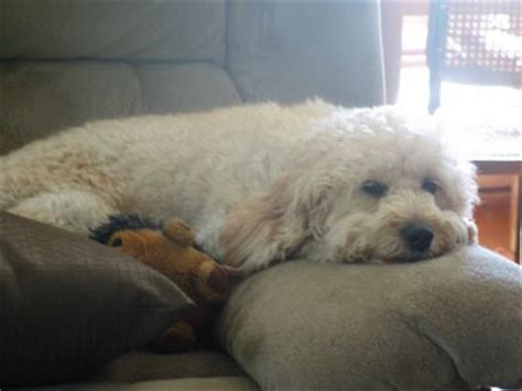 Do F1b Goldendoodles Shed by Daisey S Doodles Seattle F1b Mini Goldendoodles At 2