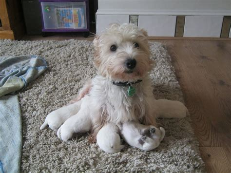 west highland white terrier puppies for sale west highland terriers for sale 14 cool hd wallpaper dogbreedswallpapers