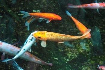 gambar tato keren ikan koi gambar ikan koi