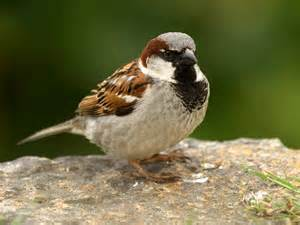 house sparrow keep as pet about pet life