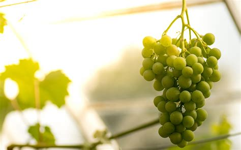 Do You To Use Organic Grapes For A Detox by What Are Wines