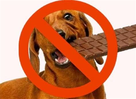 why does chocolate kill dogs why does chocolate kill dogs when they eat it dogs cats pets