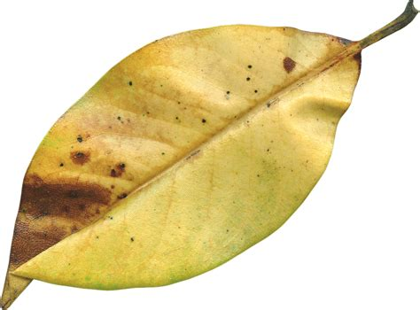 Aplikasi Daun Kering Pressed Leaf 목련 잎 가 시즌 183 pixabay의 무료 사진