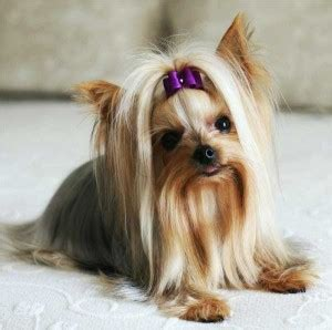 yorkie hypoallergenic are yorkies hypoallergenic dogs terriers and with allergies yorkiemag