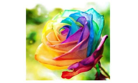 multi color pcs rainbow rose flower seeds garden yard