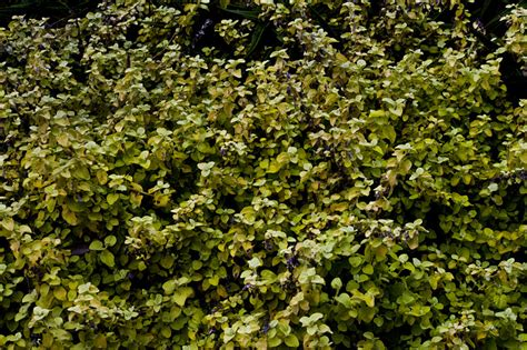 shrub with and green leaves 28 images redtip photinia shrub sherry s place shrubs and