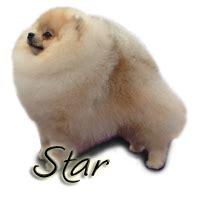 starlight pomeranians robcary pomeranians ch robcary s silver starlight quot quot