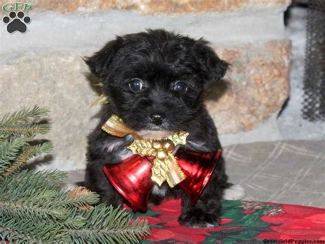 yorkie chon puppies for sale in pa yorkie pin puppies for sale in pa breeds picture