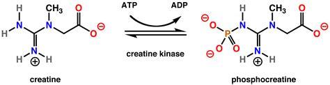 is creatine kinase file creatine kinase rxn png