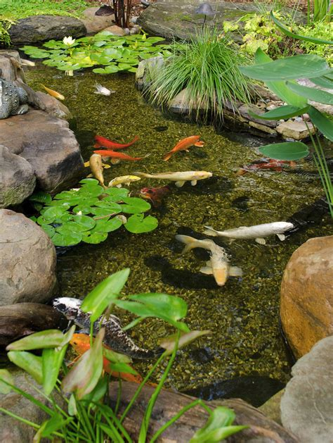 backyard pond plants koi instead of my gold fish different pond plants no