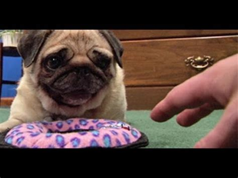 pugs favorite toys pug defends new pawbuzz