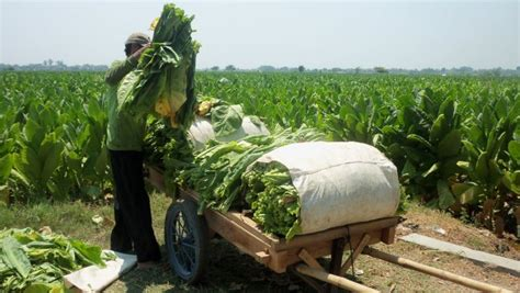 Tembakau Cap Bunga Matahari Hijau jenis tembakau berkualitas lengkap dengan cara menanamnya