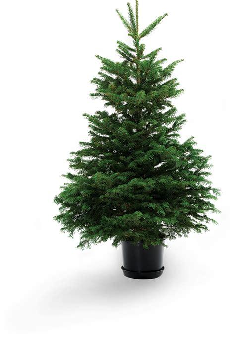 inexpensive live christmas trees near me potted tree cheap live potted tree stunning ft potted tree