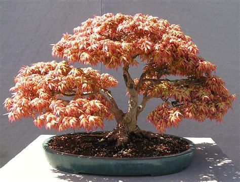 a brief rundown of trees akron canton bonsai society acbs march meeting natonal