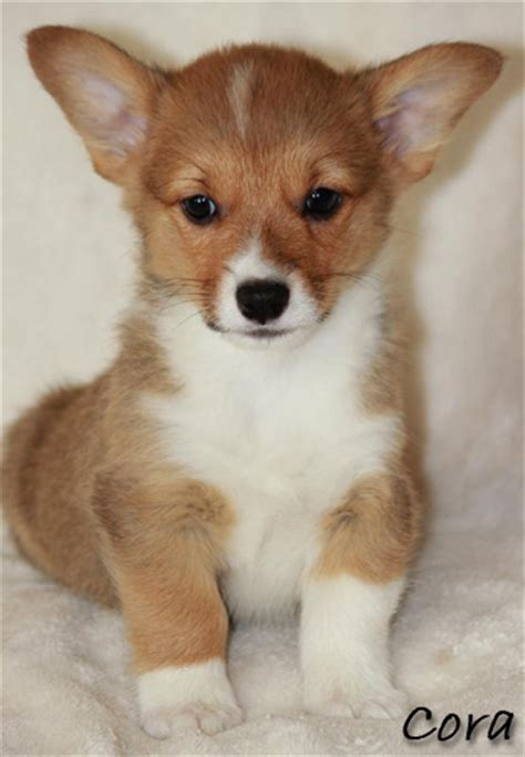 corgi puppies for sale in kansas corgi puppies for sale in kansas breeds picture