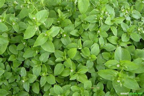 oregano wann ernten schmackhaftes aus feld und flur wildkr 228 uter im juni