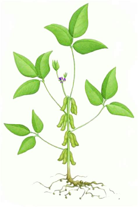 bean plant diagram diagram of soybean plant diagram of soybean plant for