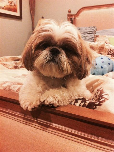 shih tzu bed come to bed i m ready to snuggle shih tzus to miss sleep and