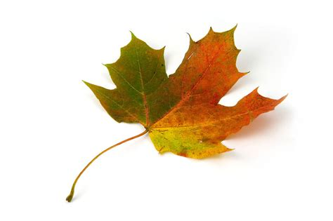 Leaf Free Stock Photo A Maple Leaf Isolated On A White Background 5666 Fall Leaves On White Background