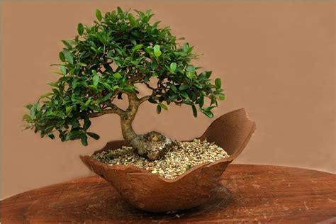 vasi bonsai fai da te bonsai olivo bonsai come curare un bonsai di olivo