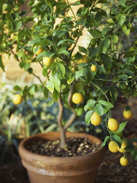 patio fruit trees in containers 1000 images about my hacienda landscape on